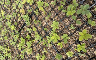 U borbi protiv korova, organski pokrivač spas je za rasadnike i proizvođače